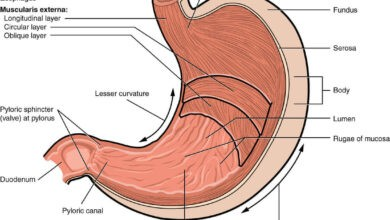 Photo of Anatomy of the stomach